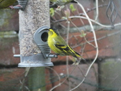 Siskins and greenfinch visit bird feeders