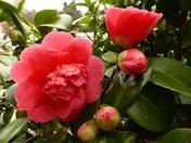 Camellia Flower family.