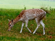Deer In The Park At Holkham