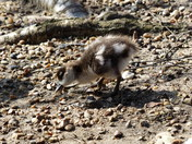 SPRING/EASTER, Young Egyptian Goose