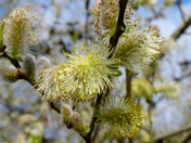 SPRING/EASTER. Pussy Willow