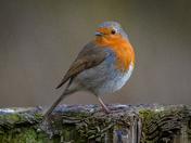 Gatepost Robin