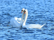 Swans at Lackford Lakes