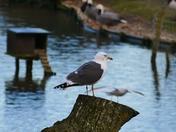 Gulls Resting Post