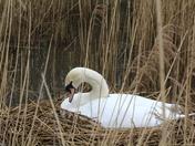 Mute Swan nesting
