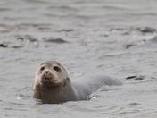 Seals at Hamford Nature Reserve