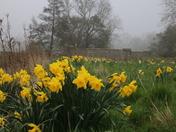 River Daffodils