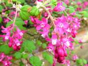 Ribes Blossom