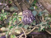 Barn owl & little owl Ranworth Broad