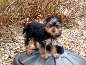 Grandmothers Yorkshire Terriers