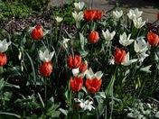 Tulips ablaze in Aldborough Hatch