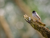 Blackcap in woodland bokeh