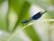 Blue Banded Demoiselle