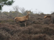 Deer at dunwich on sunday