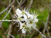 Bokeh Spring Blossom & Fly