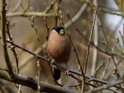 Beautiful Bullfinches