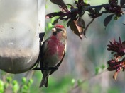 A beautiful little Redpoll