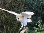 Barn Owl beauty