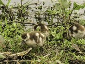 Egyptian Gees Goslings
