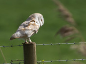 Profile of a Barn Owl.