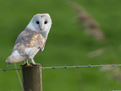 Light Coloured Barn Owl.