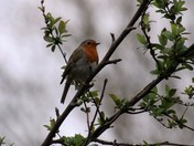 Robin in the apple tree