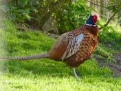 Beautiful pheasant.