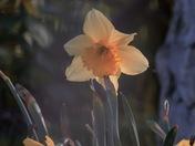 Pretty daffodils.