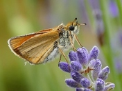 BOKEH. Moth On The Lavender