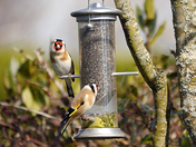 Goldfinch pair