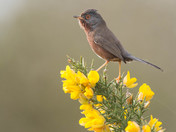 The Dartford Warbler