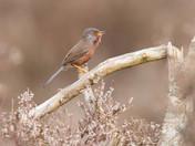 Bokeh- Dartford Warbler