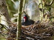 Moorhen Nesting Safe Up A Tree