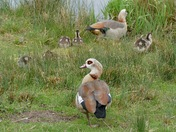 Egyptian geese and goslings.