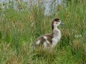 Egyptian  goose gosling.