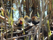 Nest of Coots Oulton Broad
