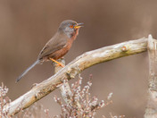 Dartford Warbler Sings.