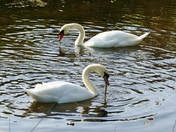 Swans Along The River
