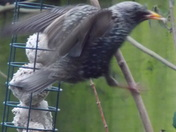 A STARLING ON THE FEEDER