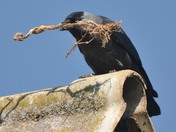 Nest building Jackdaw