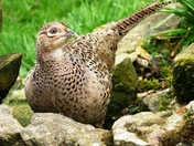 Female pheasant in fine plumage.