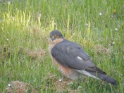 Sparrow Hawk Feeding
