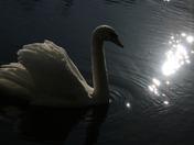 Bokeh: Swan
