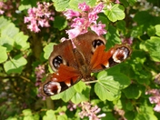 Peacock butterfly on flowering currant bush.