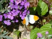 Orange Tip butterfly on violets.