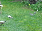 THE TWO GREY SQUIRRELS
