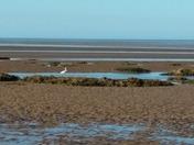 Welsh egret