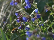 Blue Pulmonaria with Bee  (Starting with B)
