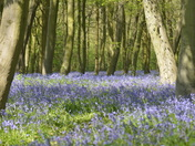 Bluebell Wood, Wanstead Park