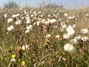 A host of seed heads blowing in the breeze